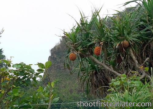 uhangu fruit