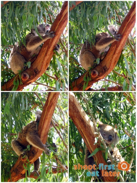 the Koala Conservation -014