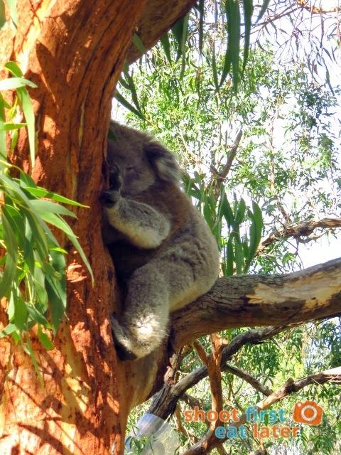 the Koala Conservation -016