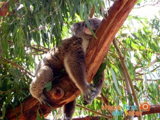the Koala Conservation -013
