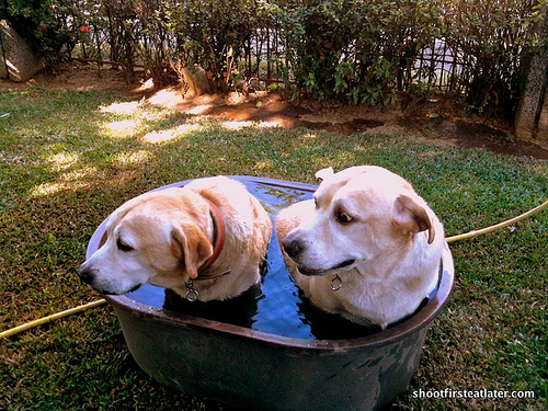Labs in a tub