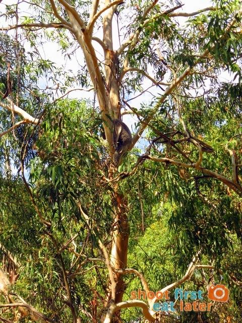 the Koala Conservation -015
