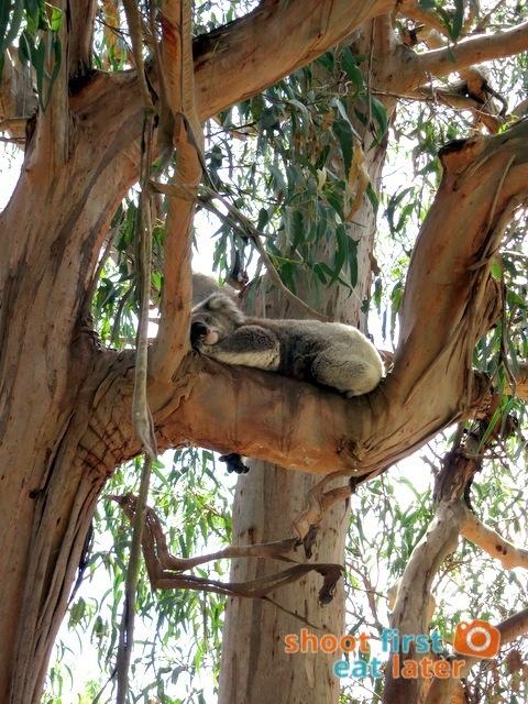 the Koala Conservation -008